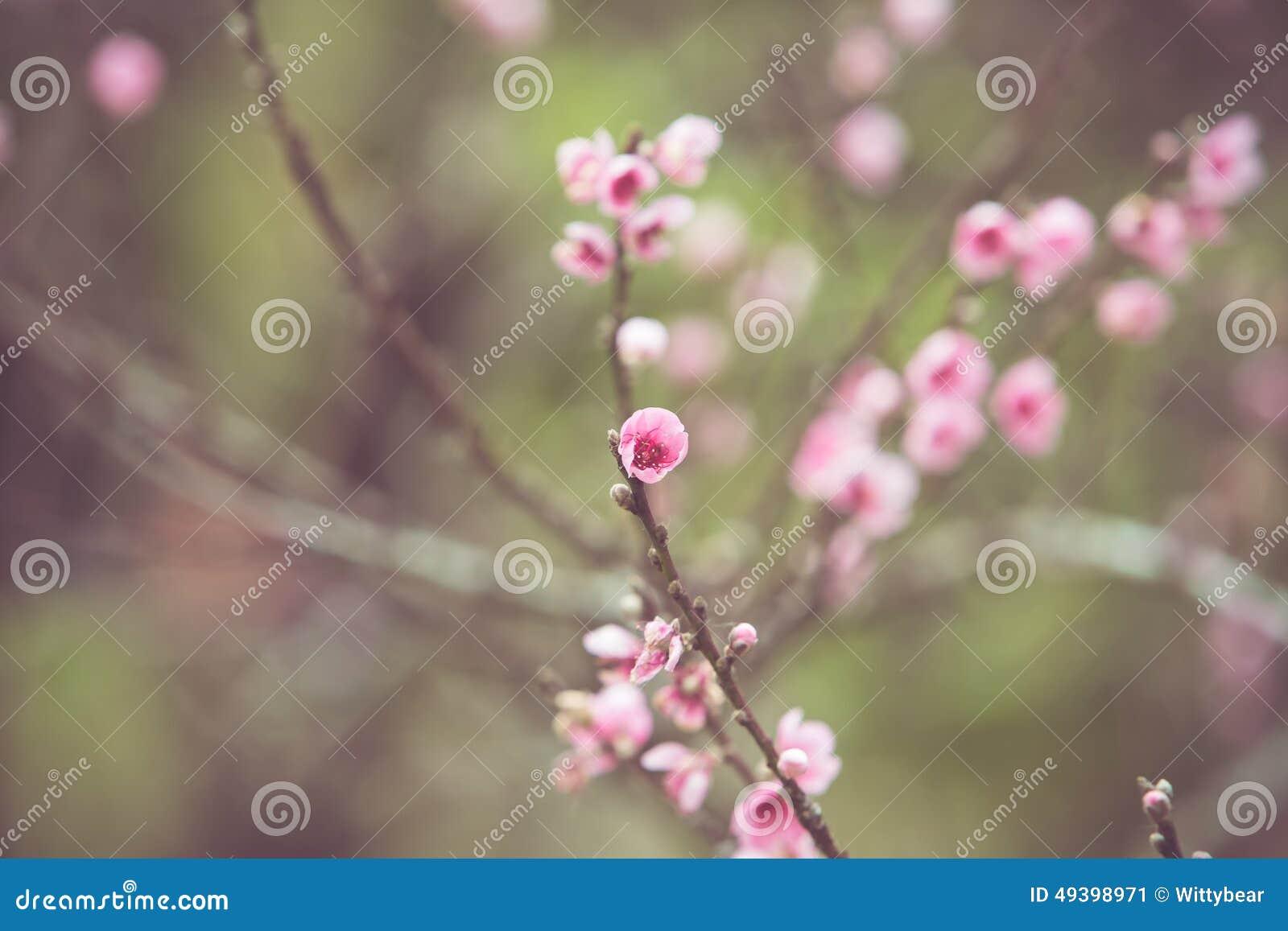 桃子花春天开花 库存照片