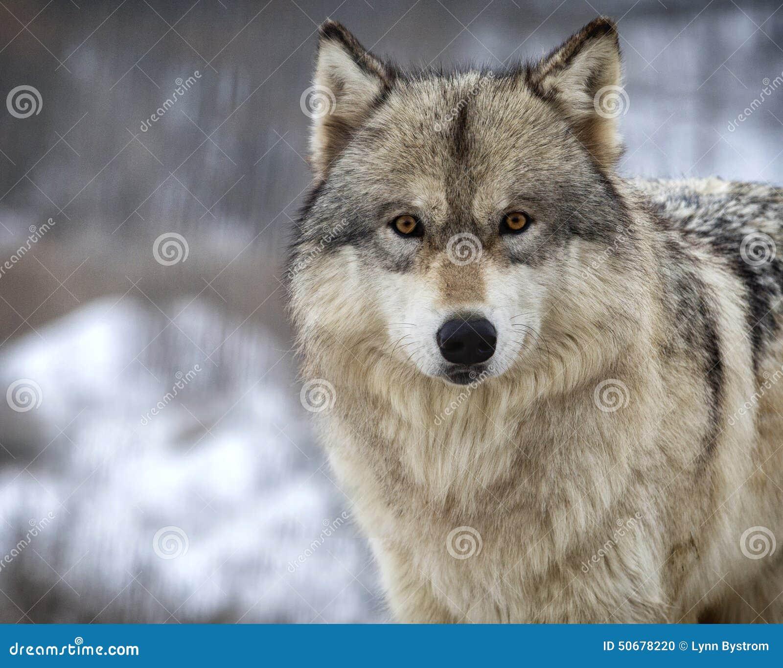 Download 狼 库存照片. 图片 包括有 眼睛, 灰色, 外面, 种类, 茴香, 深度, 明尼苏达, 中西部, 野生生物 - 50678220