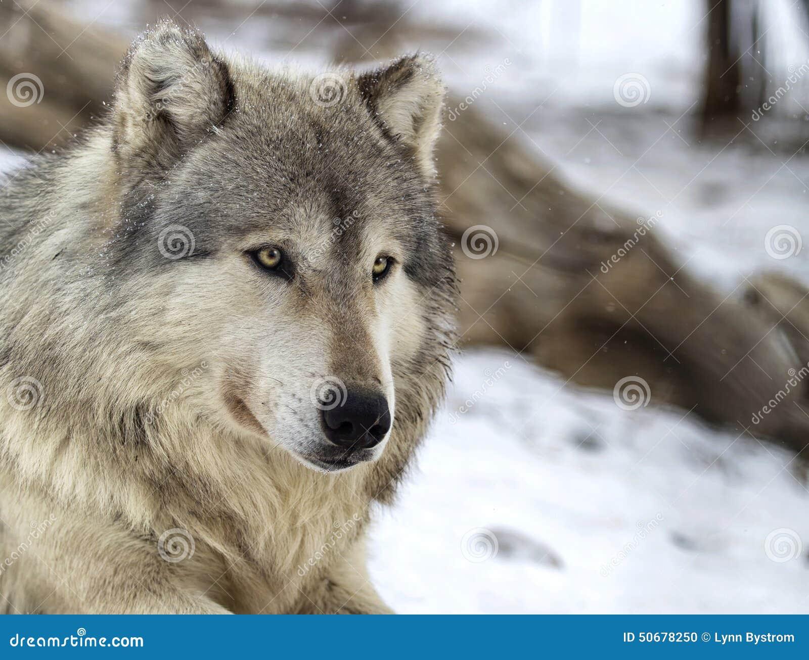 Download 狼 库存照片. 图片 包括有 户外, 犬属, 狼疮, 关闭, 危及, 生物, 种类, 食肉动物, 本质, 灰色 - 50678250