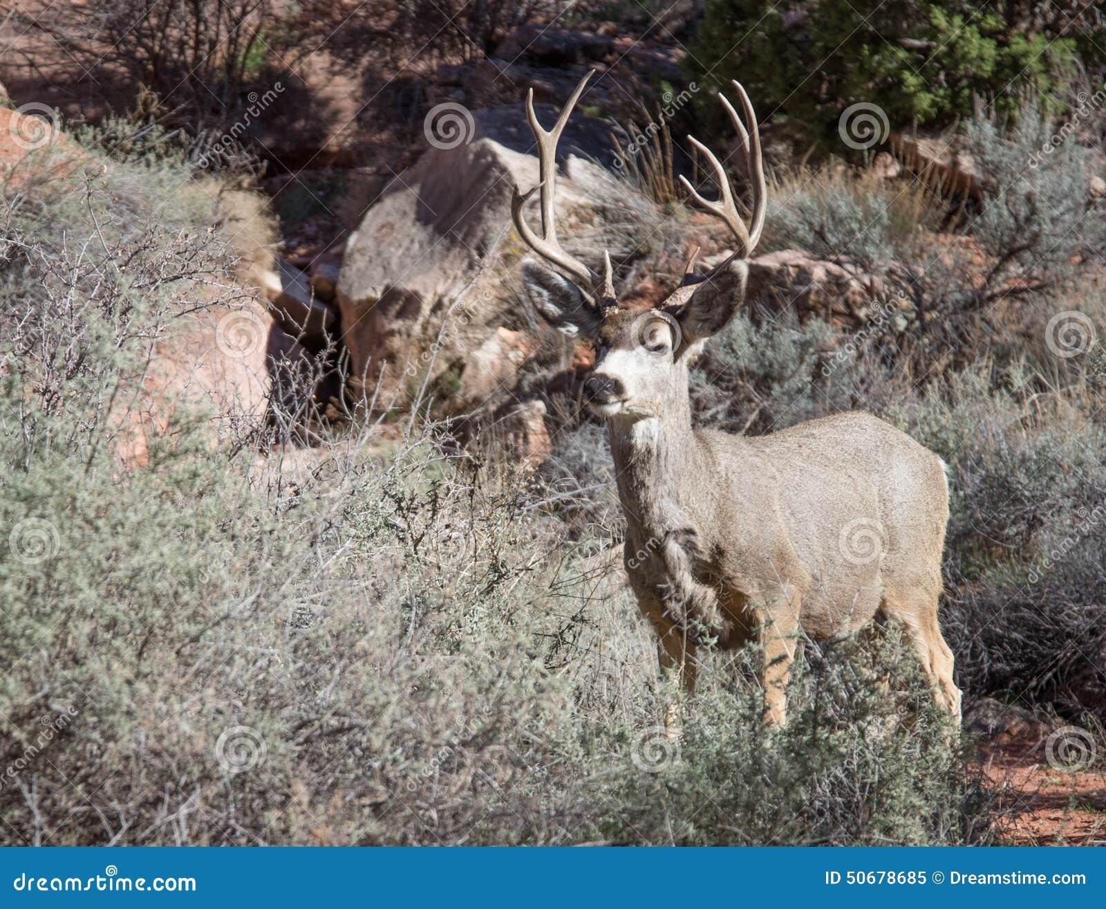Download 鹿 库存图片. 图片 包括有 野生生物, 牛仔, 突出, 凝视, 搜索, 抗氧剂, 灌木, 岩石 - 50678685