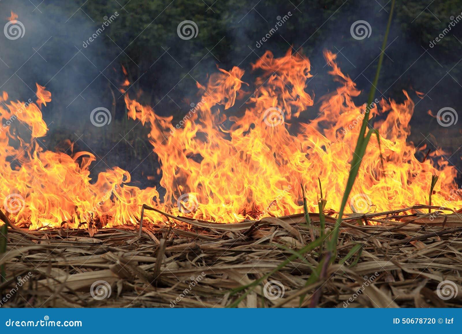 Download 火 库存照片. 图片 包括有 演替系列, ashame, 篝火, 本质, 室外, 叶子, 易燃, 危险, 甘蔗 - 50678720