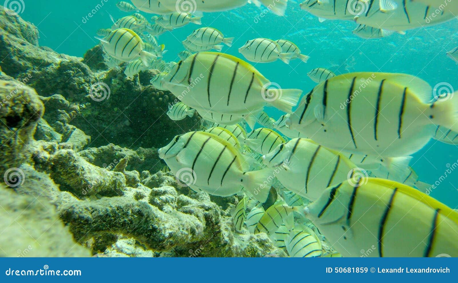 Download 鱼 库存图片. 图片 包括有 重婚, 印第安语, 马尔代夫, 海运, 通过, 潜航, 食物, 水下, 批次 - 50681859