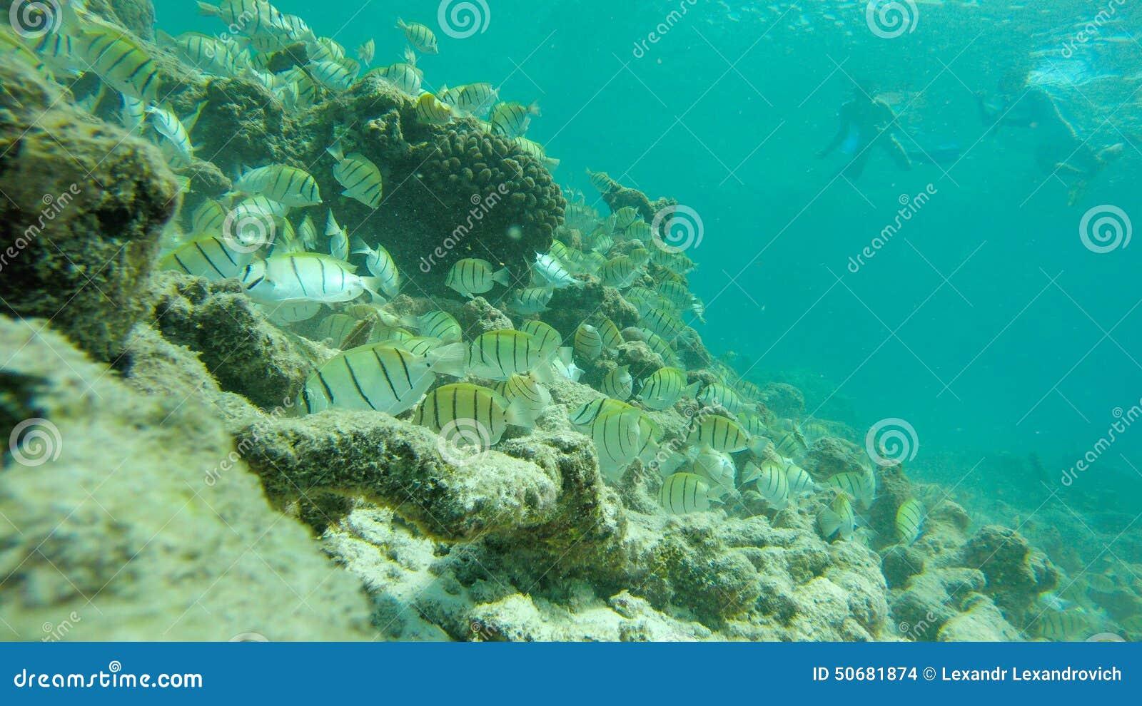 Download 鱼 库存照片. 图片 包括有 水下, 潜航, 海运, 印第安语, 海洋, 食物, 背包, 游泳, 马尔代夫 - 50681874