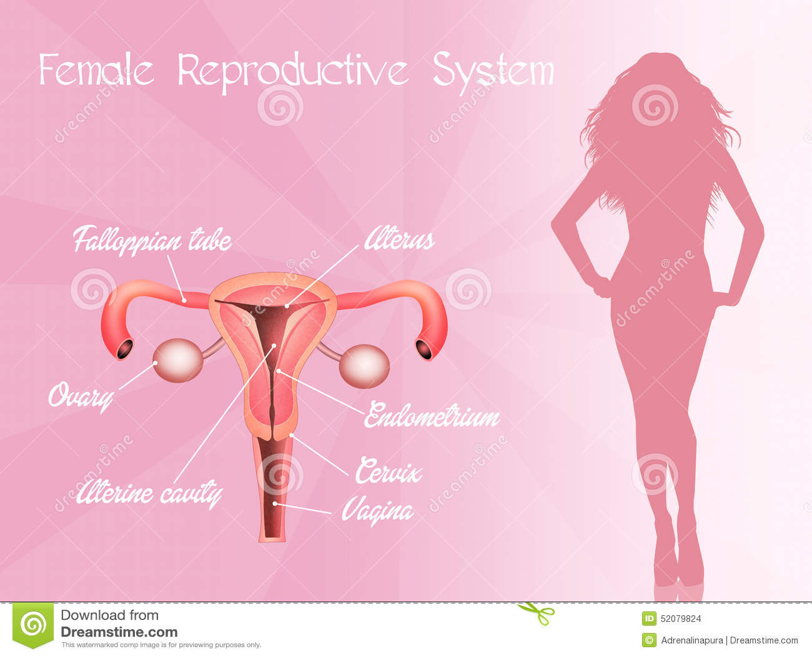 Фото крупным планом женской матки 24 фотография