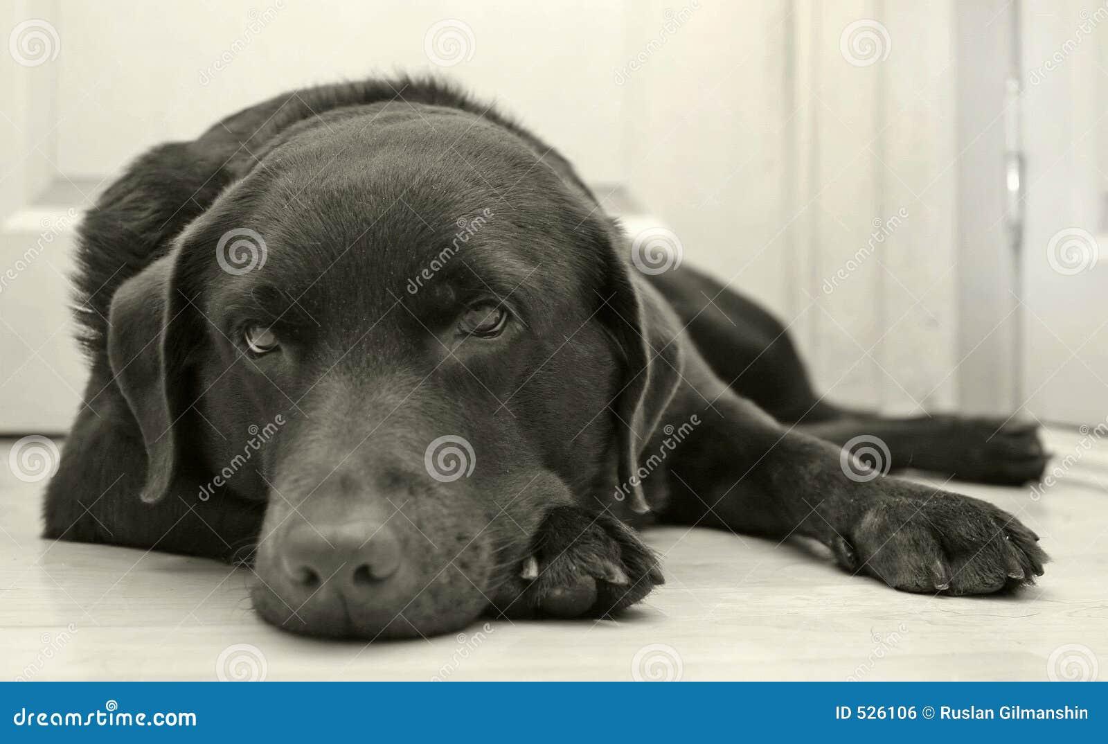 Download 狗 库存照片. 图片 包括有 巧克力, 宠物, 耳朵, 实验室, 拉布拉多, 忠诚, 搜索, 猎犬, 鼻子, 女性 - 526106