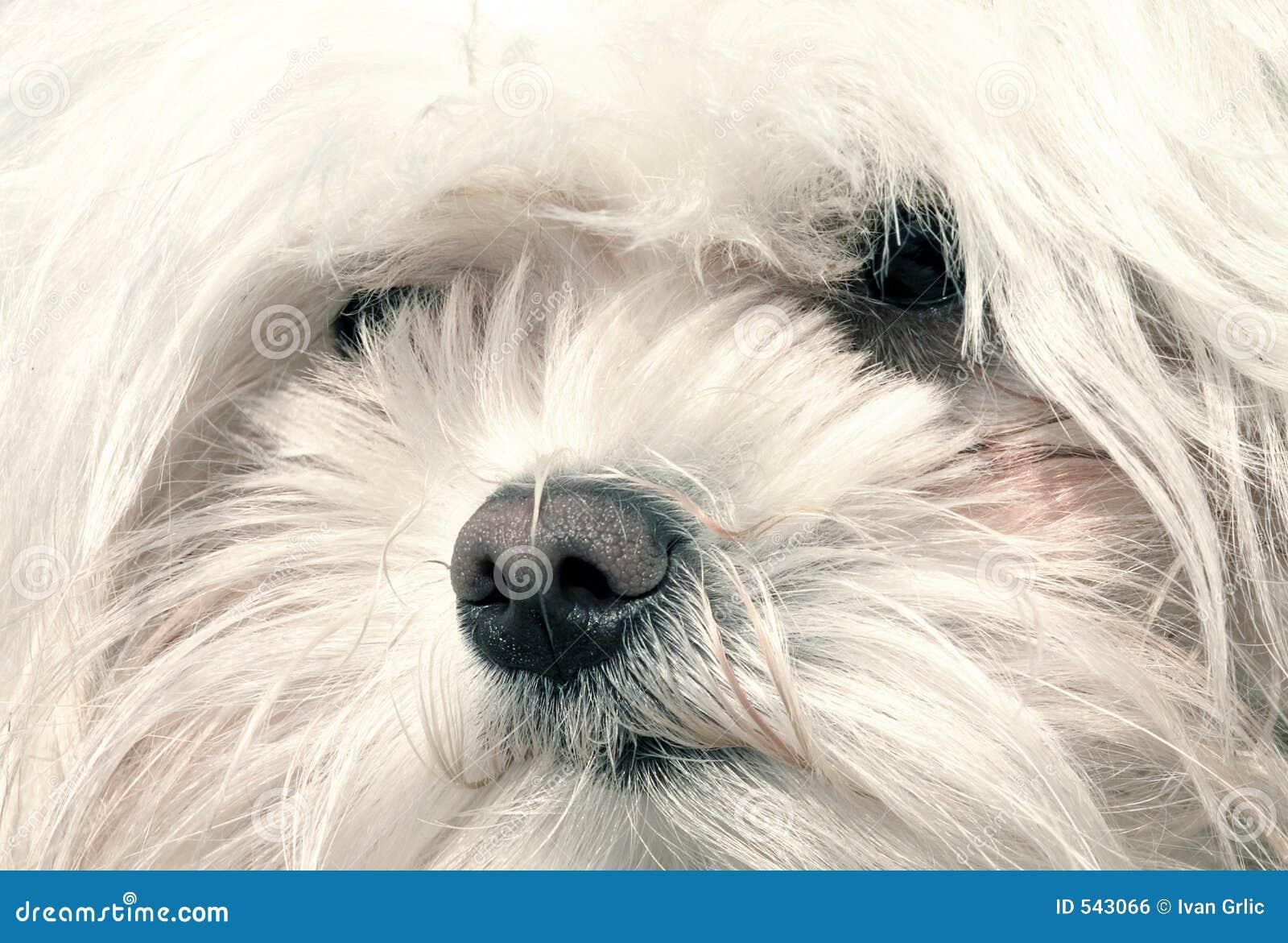 Download 狗 库存照片. 图片 包括有 眼睛, 可爱, 纵向, 羊毛制, 少许, 敌意, 投反对票, 空白 - 543066