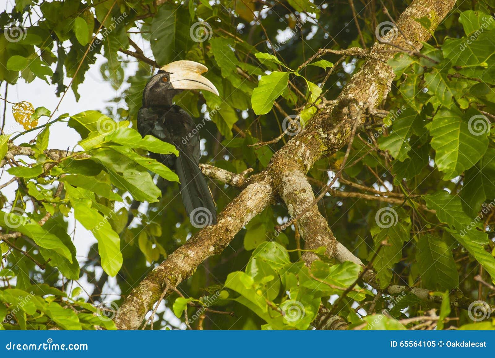 Чёрная птица-носорог