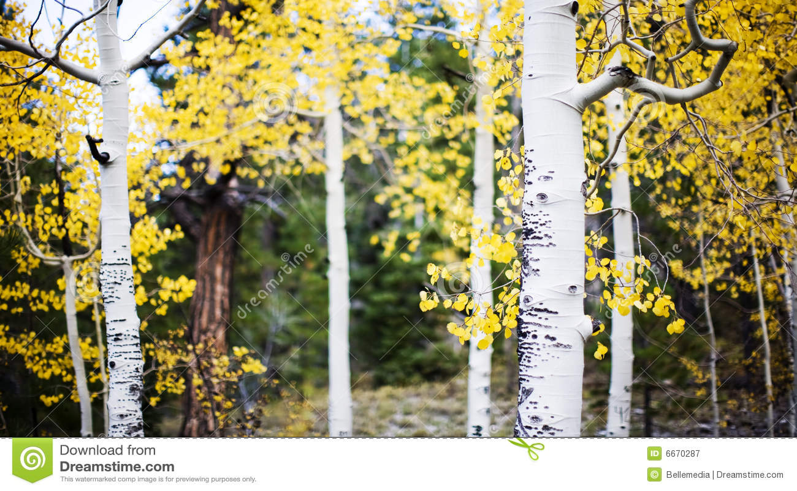 白杨木林木