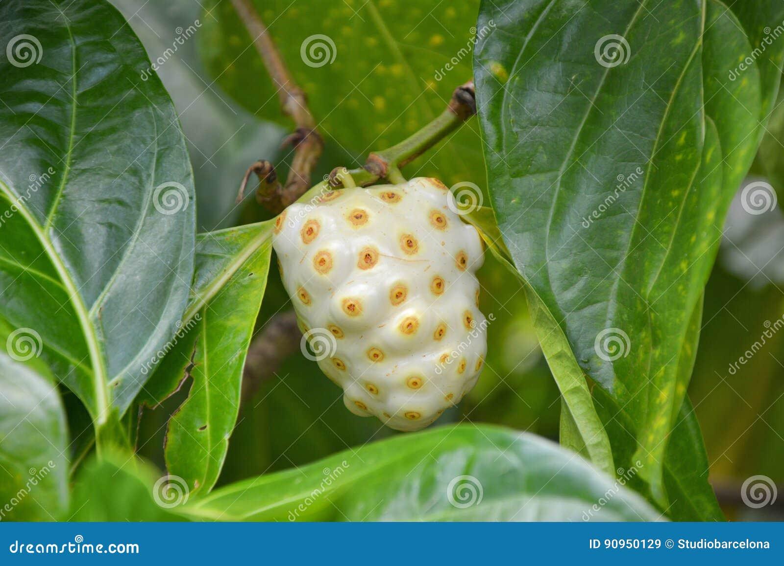 Noni frukt på träd