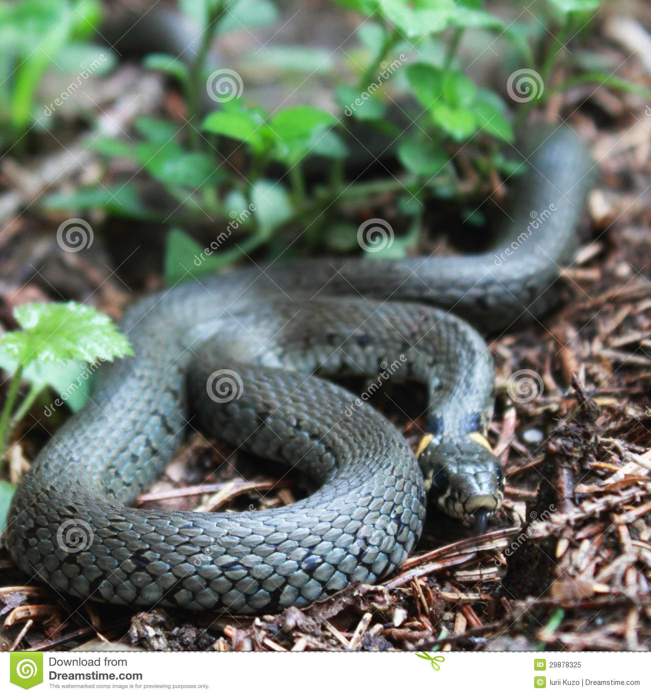 Nonpoisonous Snake Serpent Stock Image Image Of Slithering 29878325