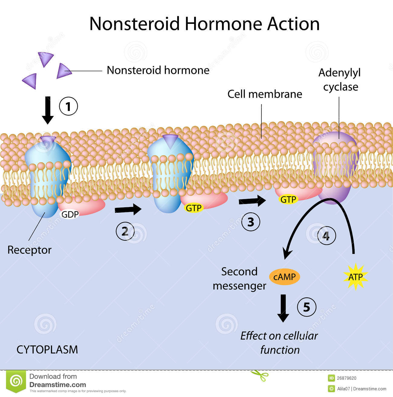 steroid hormone receptor animation