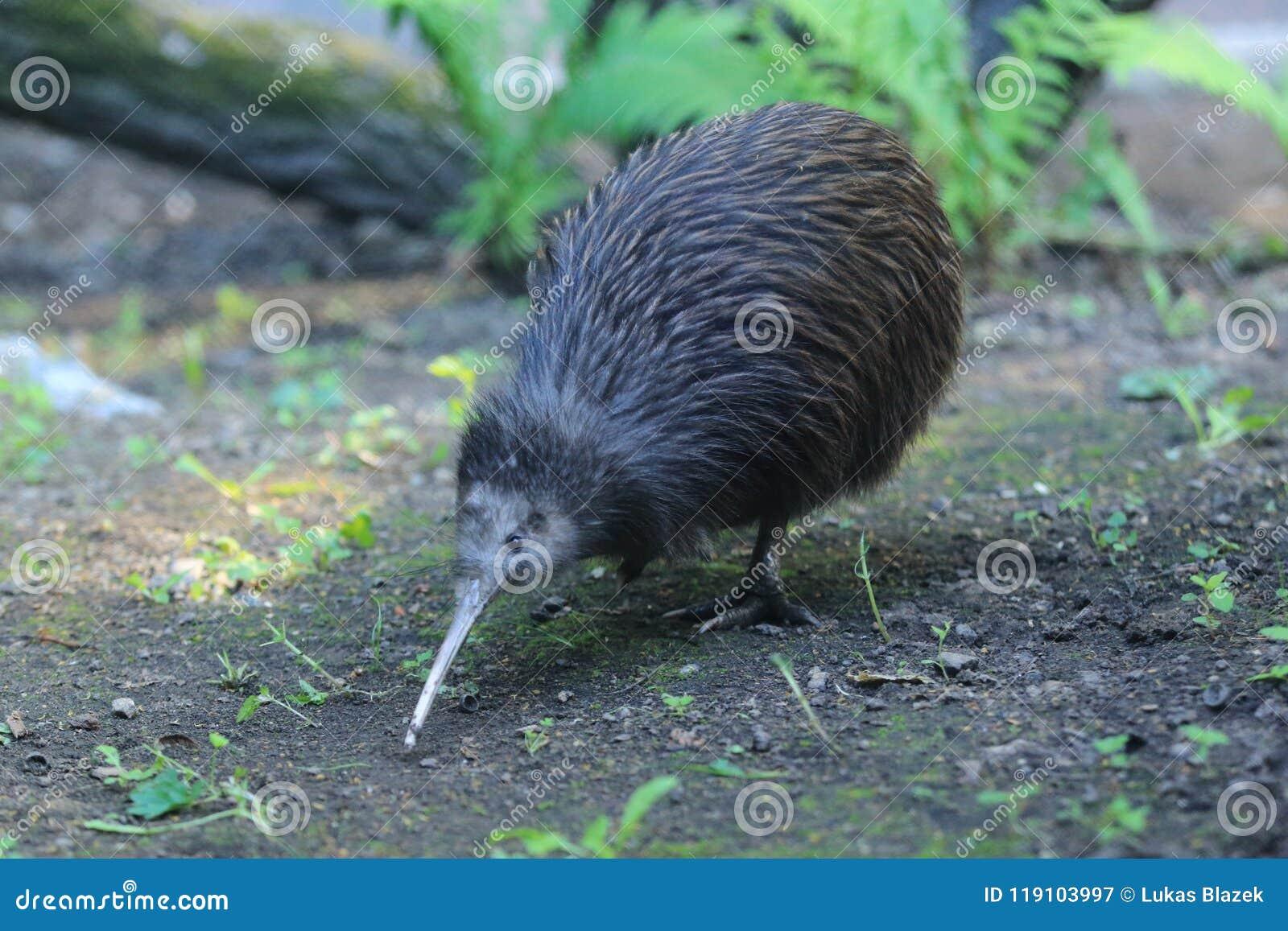 Noordelijke bruine kiwi