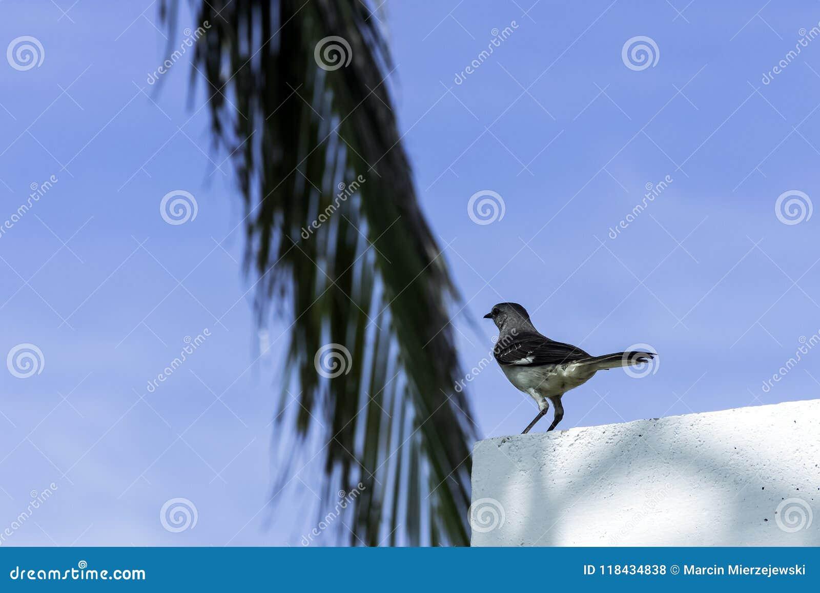 Noordelijke spotlijster/Mimus-polyglottos - Varadero, Cuba