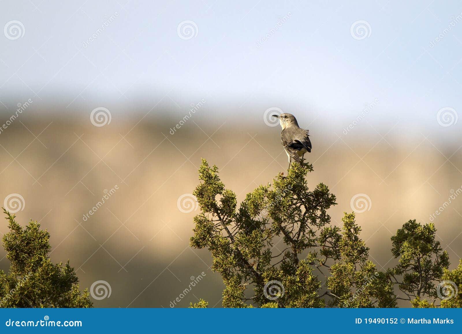 Noordelijke Spotlijster, polyglottos Mimus