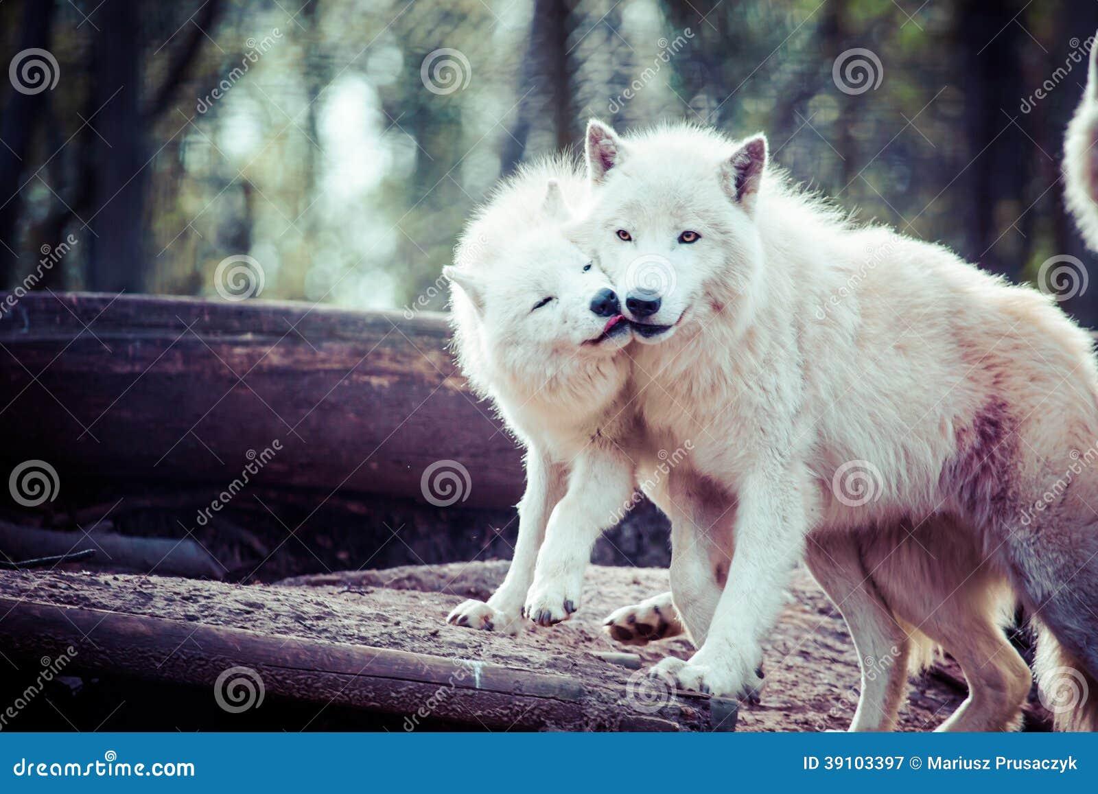 Noordpool witte wolf