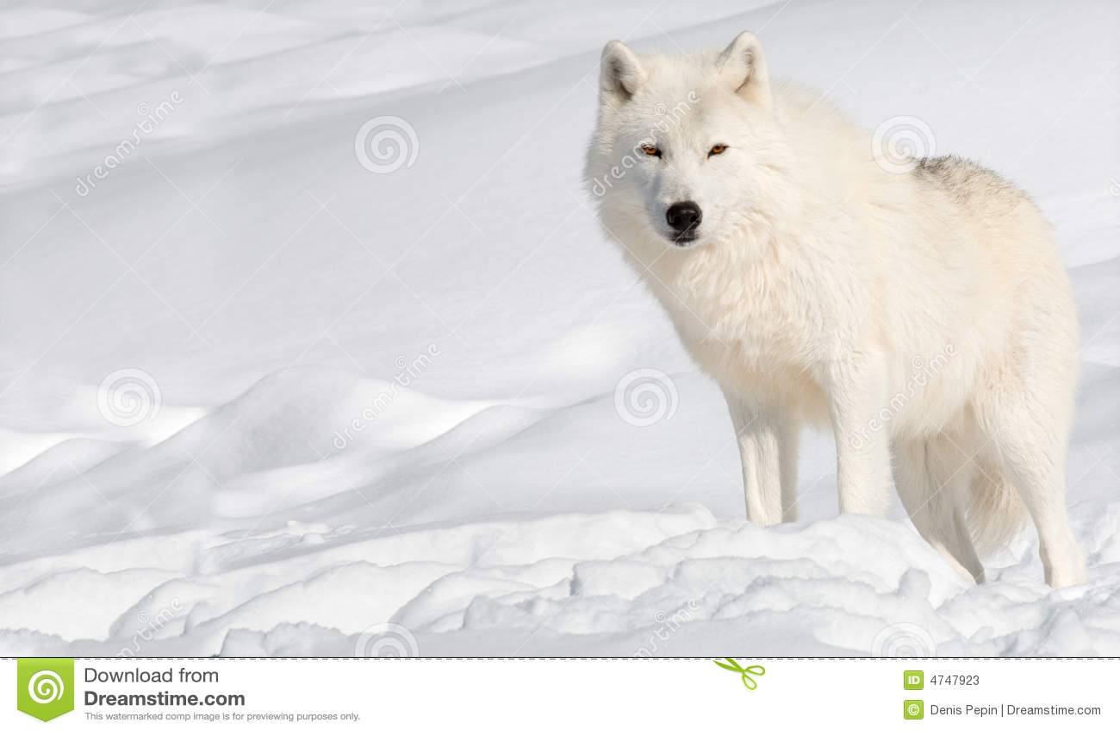 Noordpool Wolf in de Sneeuw die Camera bekijkt