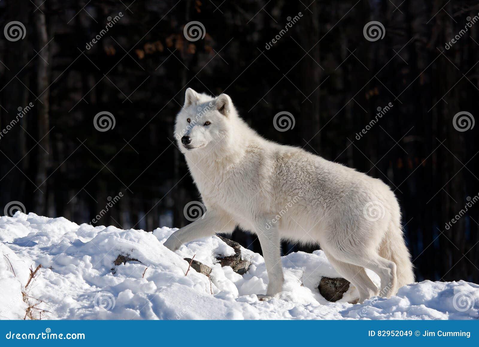 Noordpool Wolf in de winter