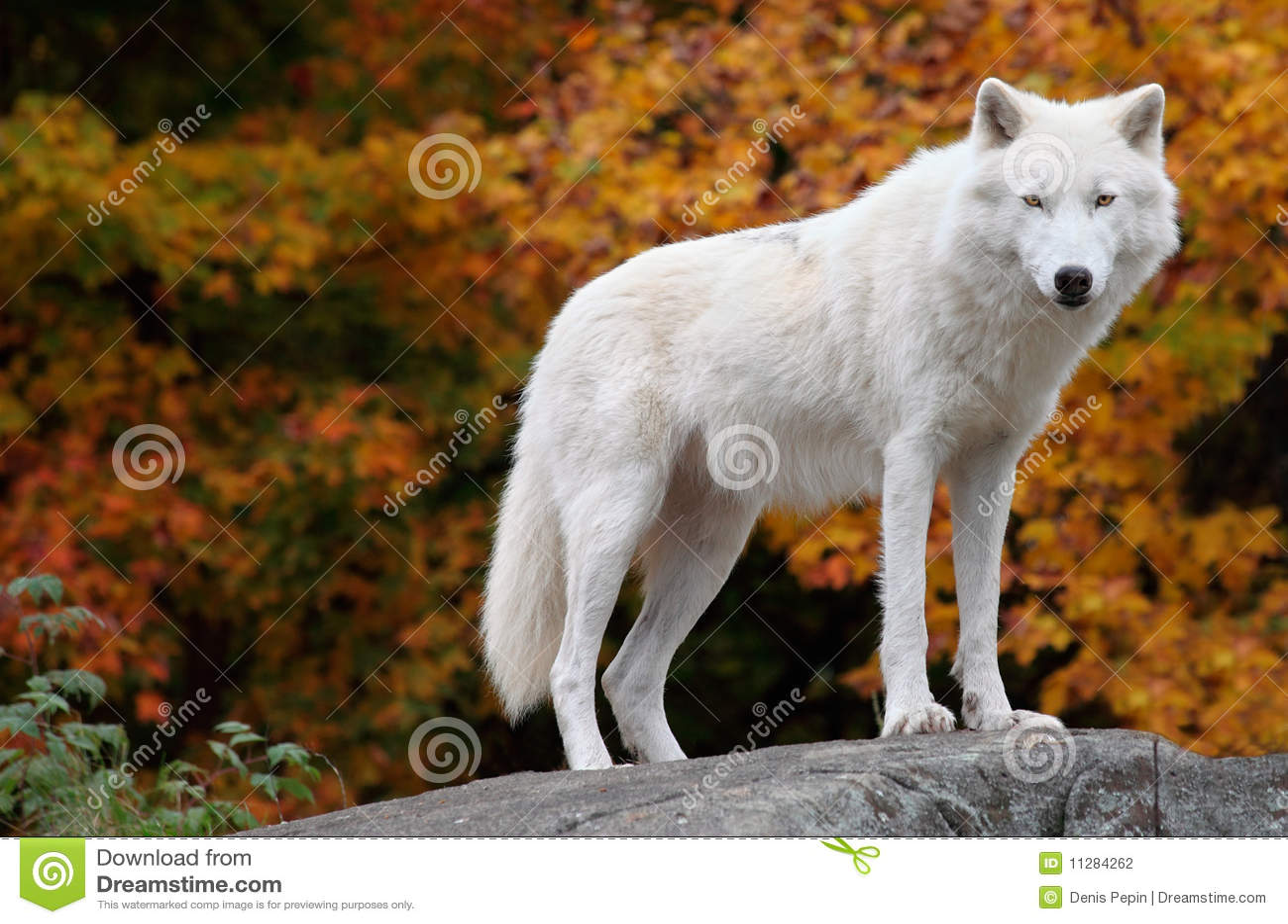 Noordpool Wolf die de Camera op een Dag van de Daling bekijkt