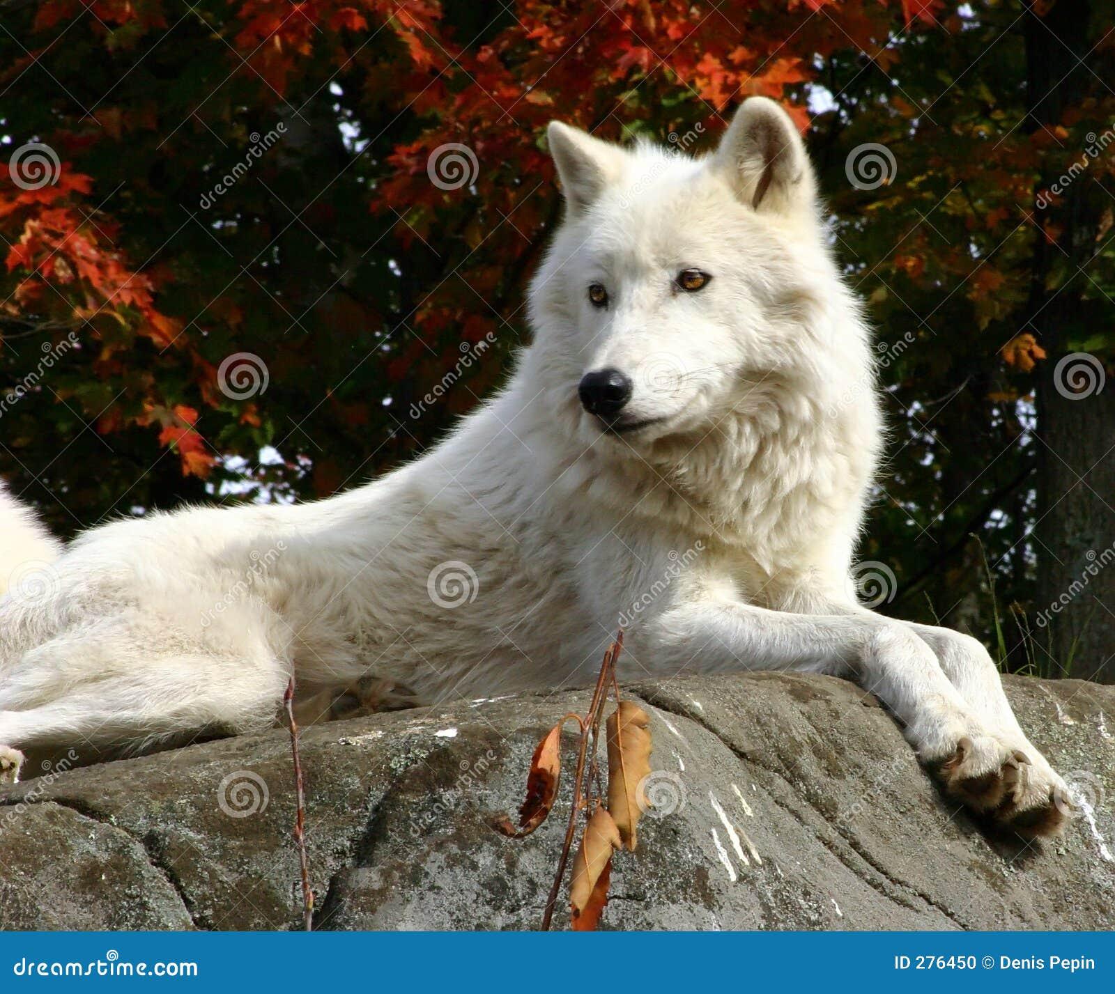 noordpool wolf die op een rots legt stock foto afbeelding 276450. Black Bedroom Furniture Sets. Home Design Ideas