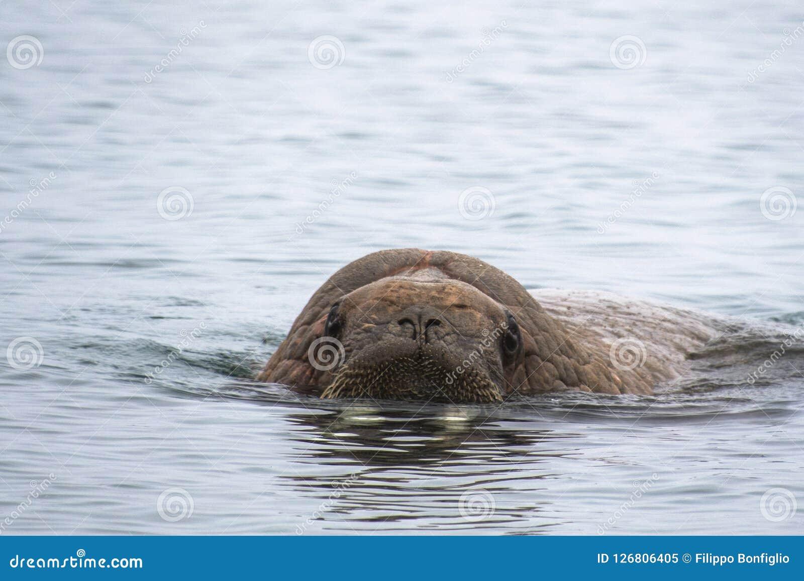 Noordpooleiland Svalbard Noorwegen, Walrus in het koude Water van de Noordpooloceaan