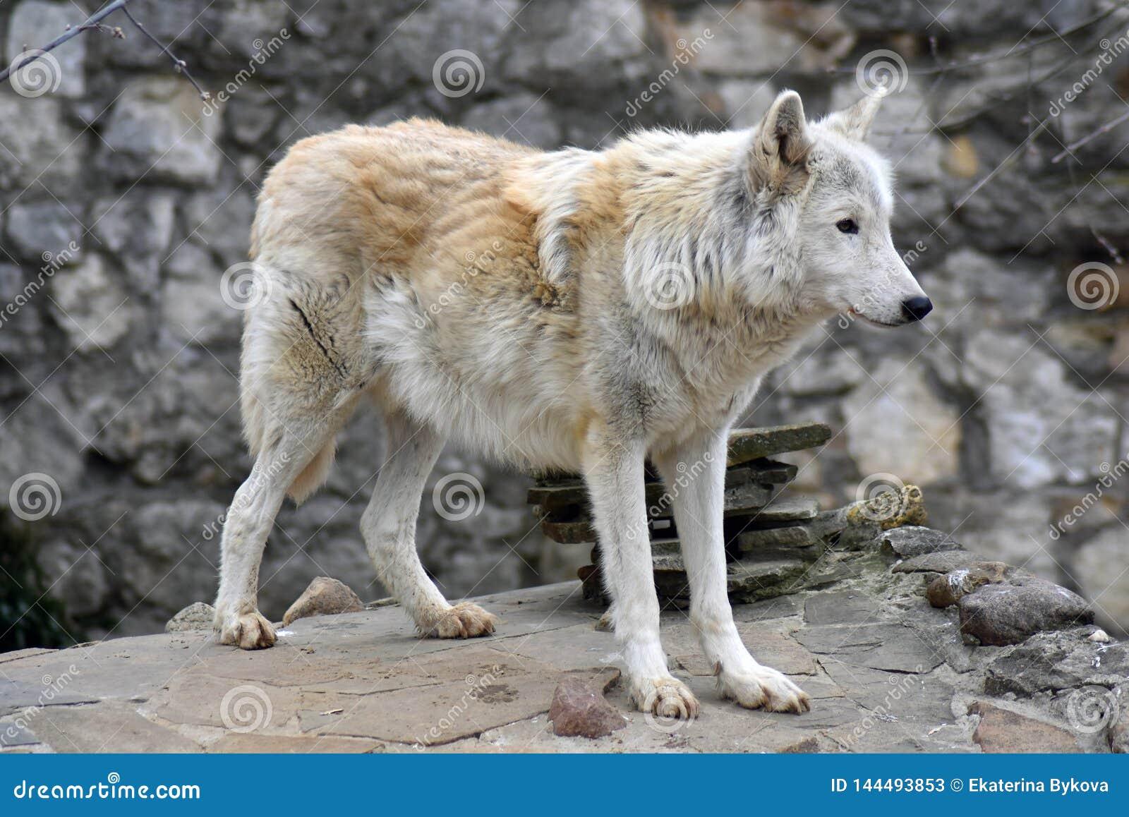 Noordpoolwolf of polair wit wolfsportret