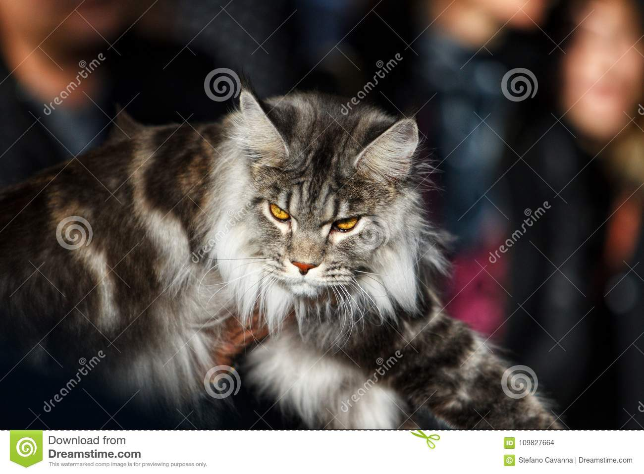 Noors Forest Cat
