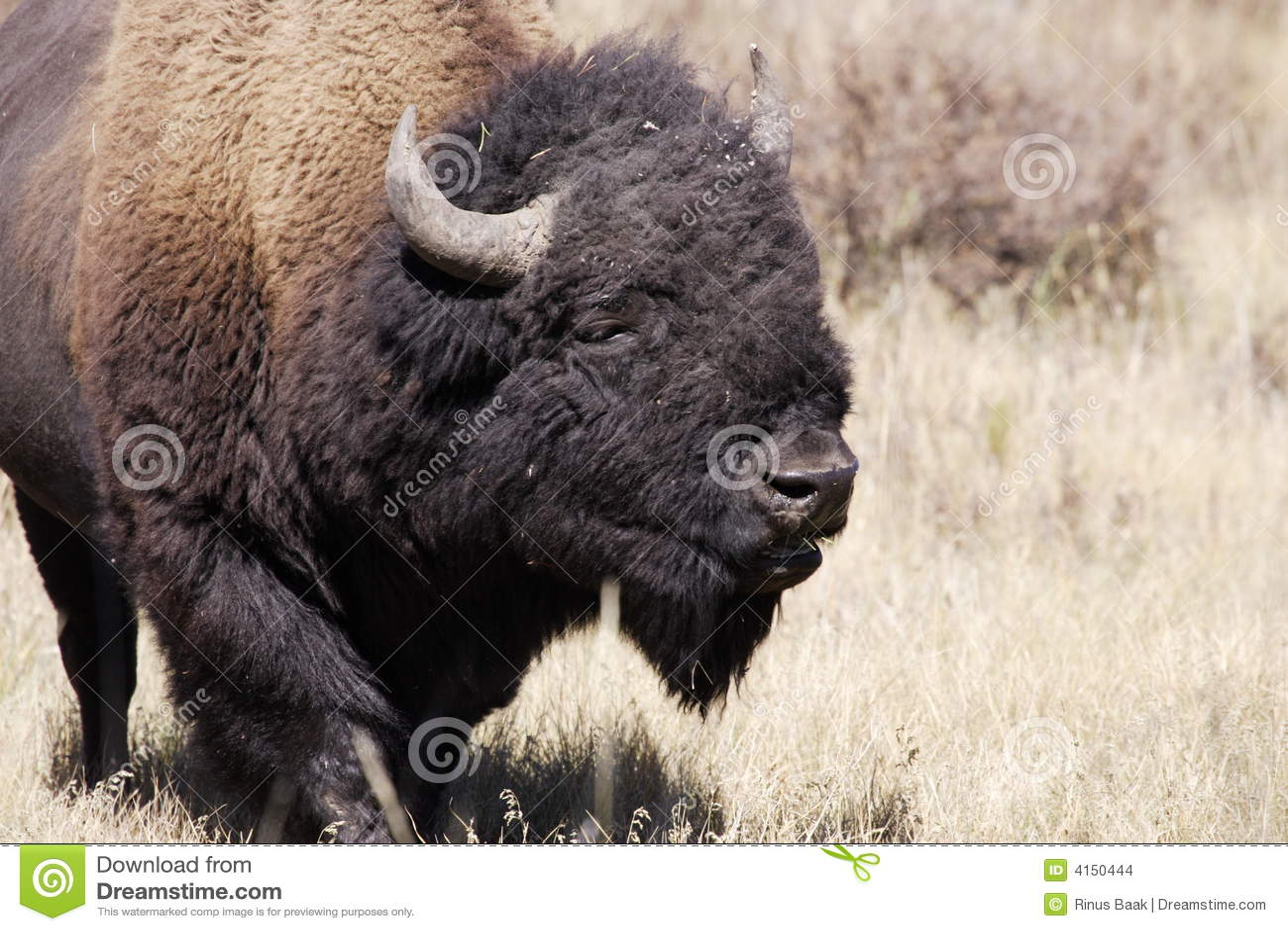 Nordamerikanischer Bison