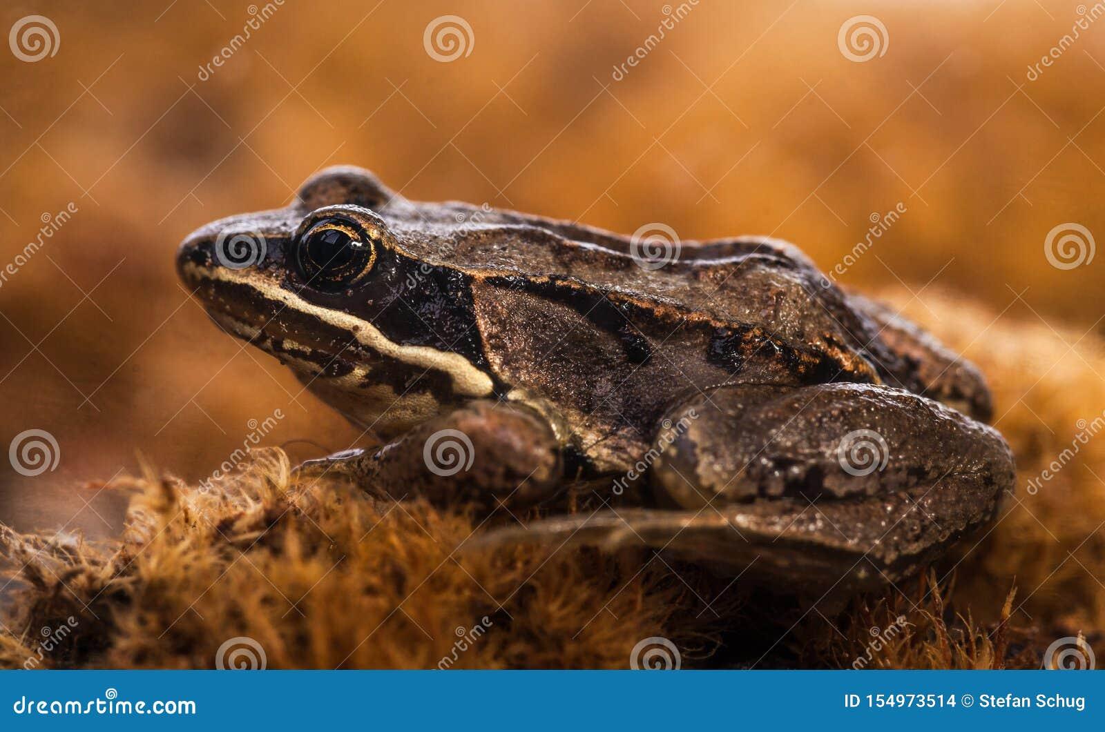 Nordleopard-Frosch - Nahaufnahme
