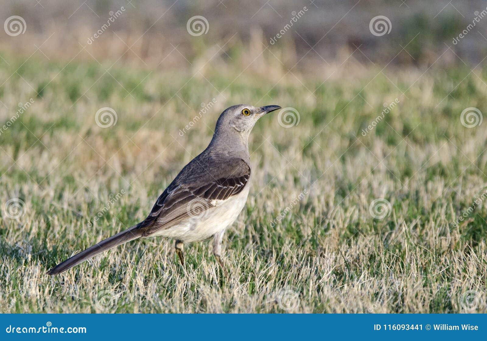 Nordlig härmfågel, Aten Georgia USA