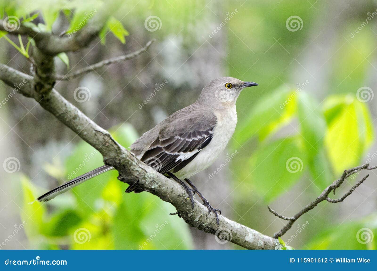 Nordlig härmfågel, Monroe Georgia USA