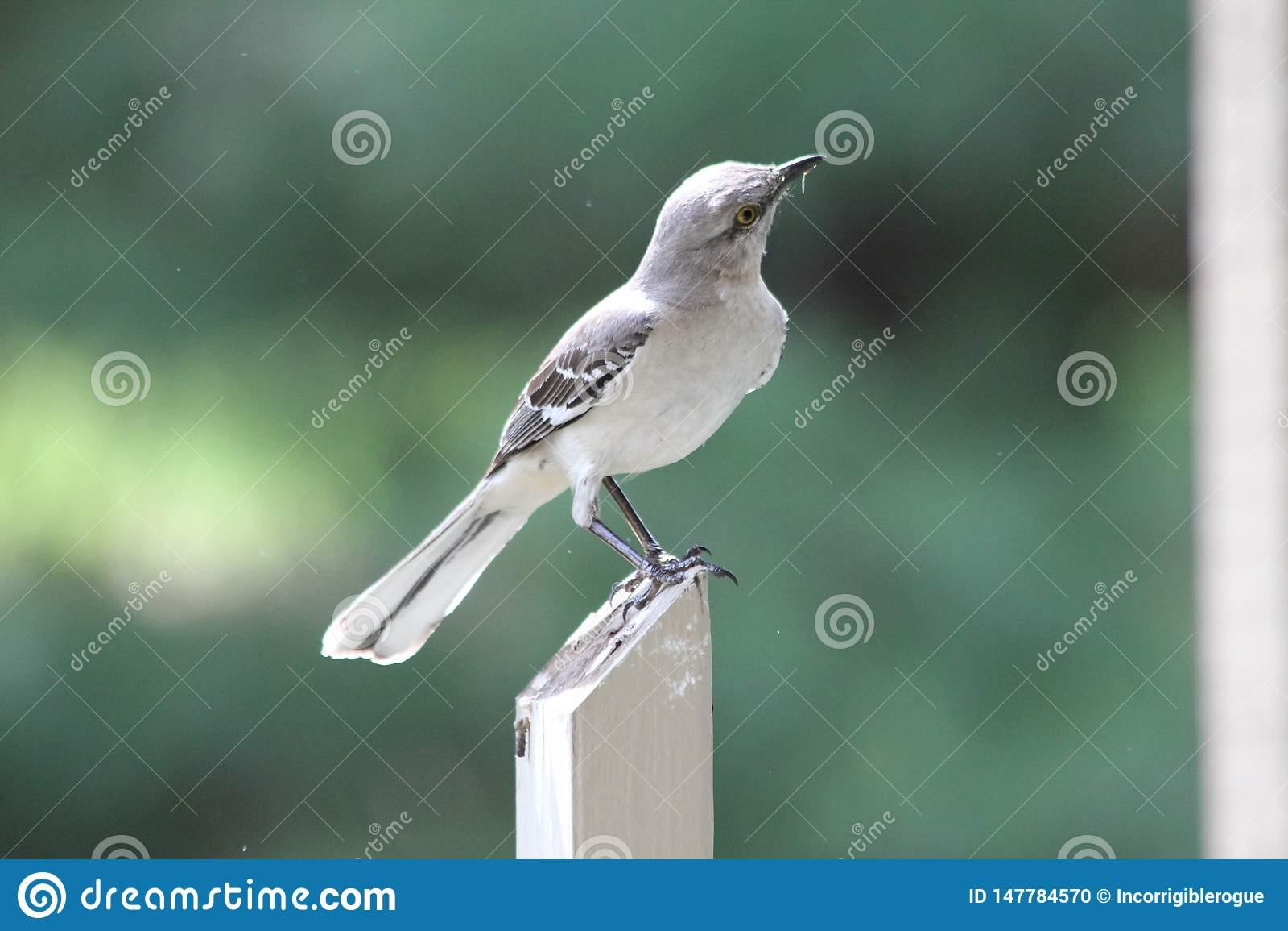 Nordlig härmfågel på staketstolpen