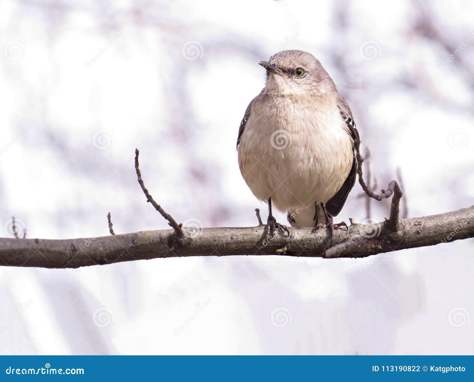 Nordlig härmfågel som sätta sig på en trädfilial, ljus bakgrund
