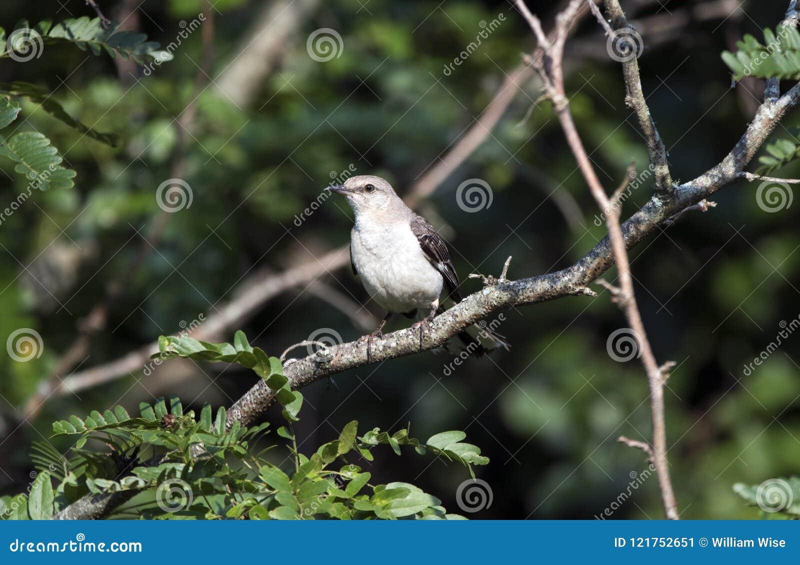 Nordlig härmfågelfågel, Walton County GUMMIN