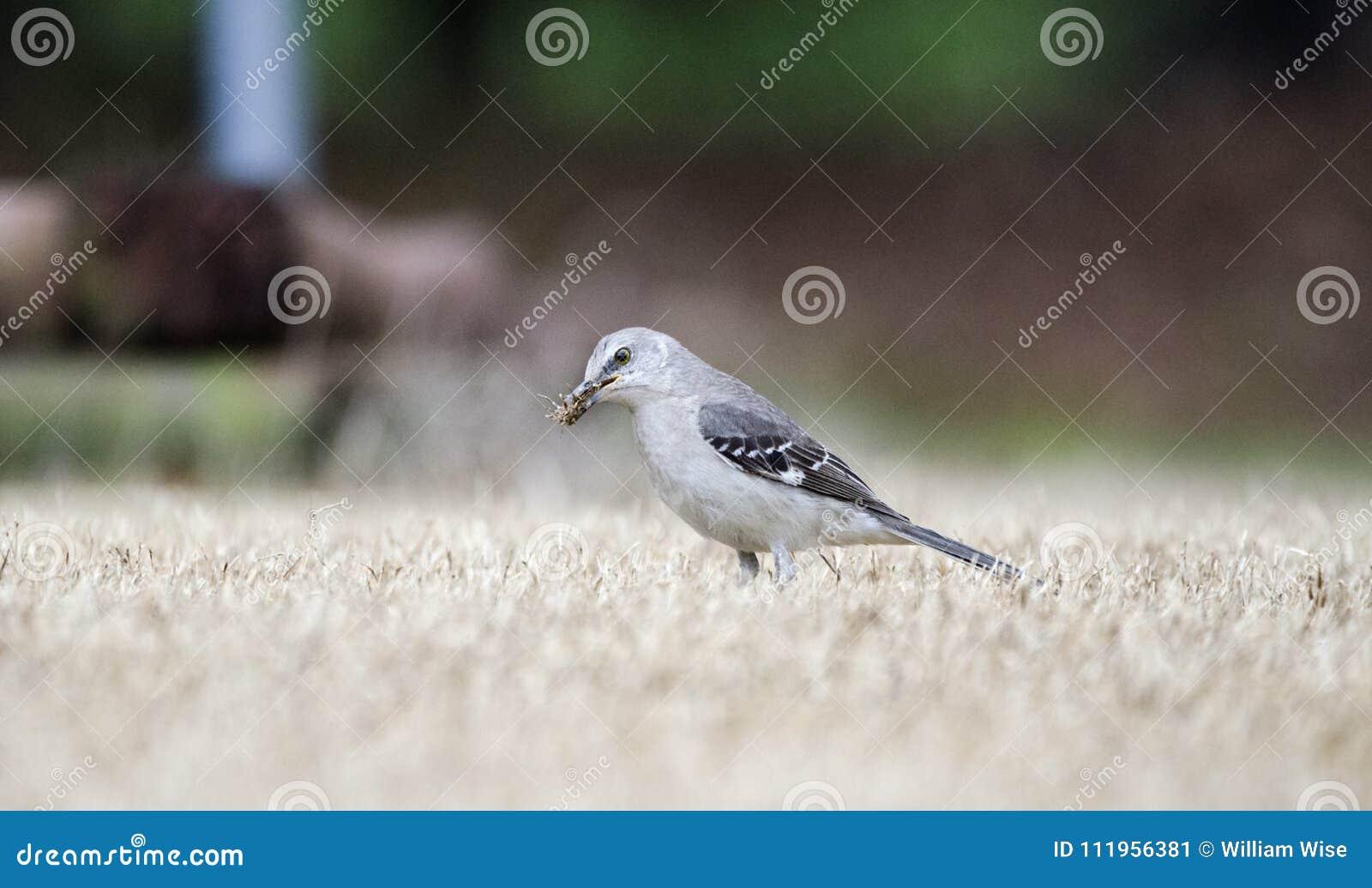 Nordlig härmfågeljakt för fel på Georgia gräsmatta