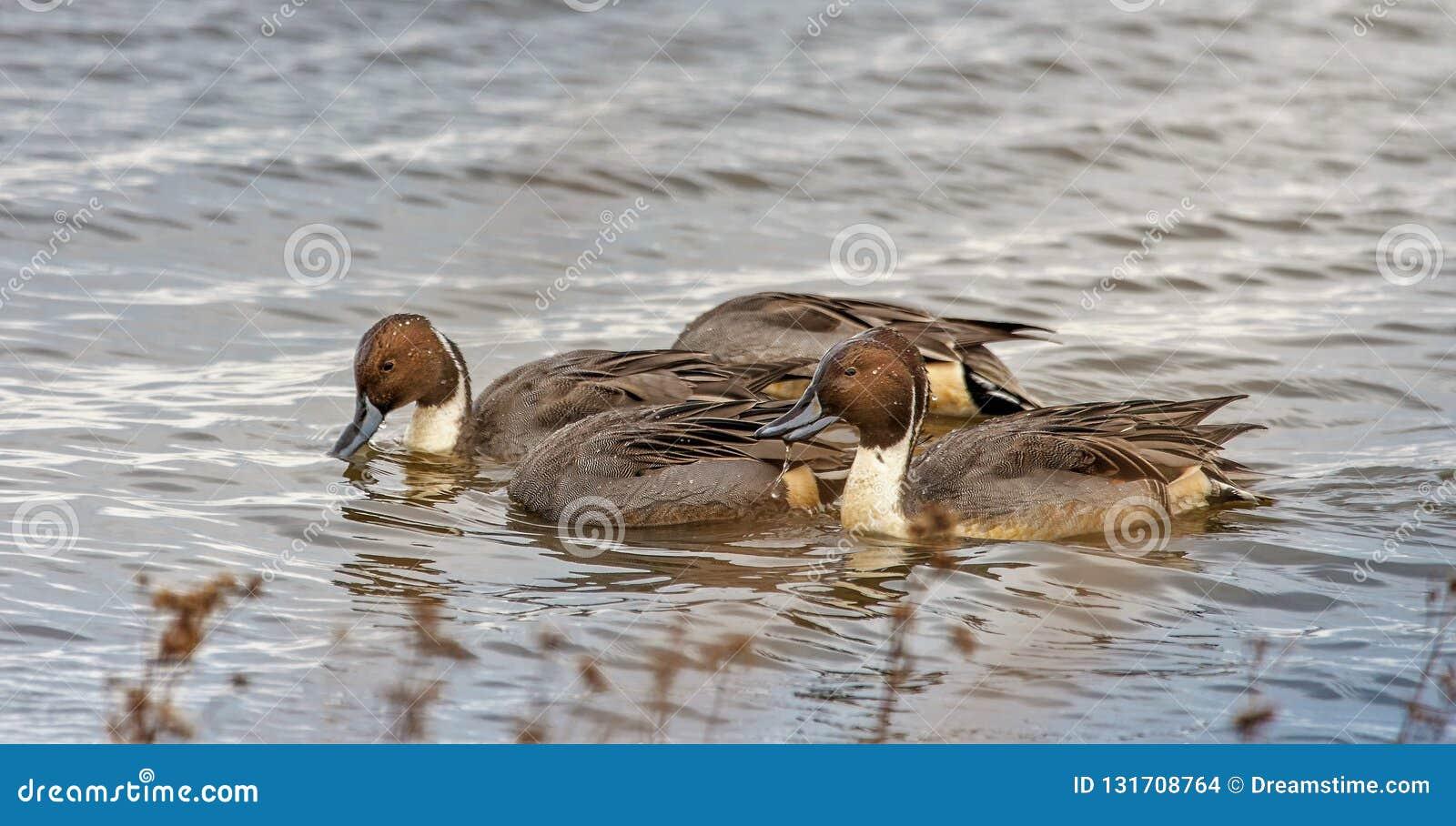 Nordspießenten-Enten unter Wasser