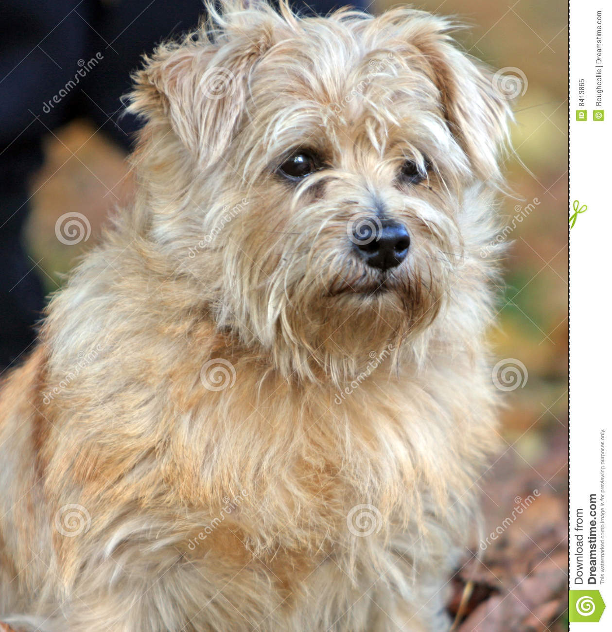Norfolk Terrier Royalty Free Stock Photo - Image: 8413865