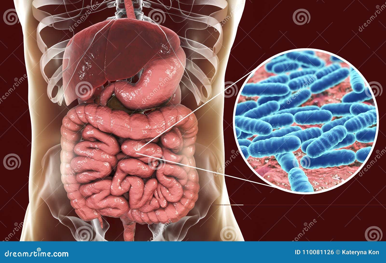 Normal Flora Of Small Intestine  Bacteria Lactobacillus