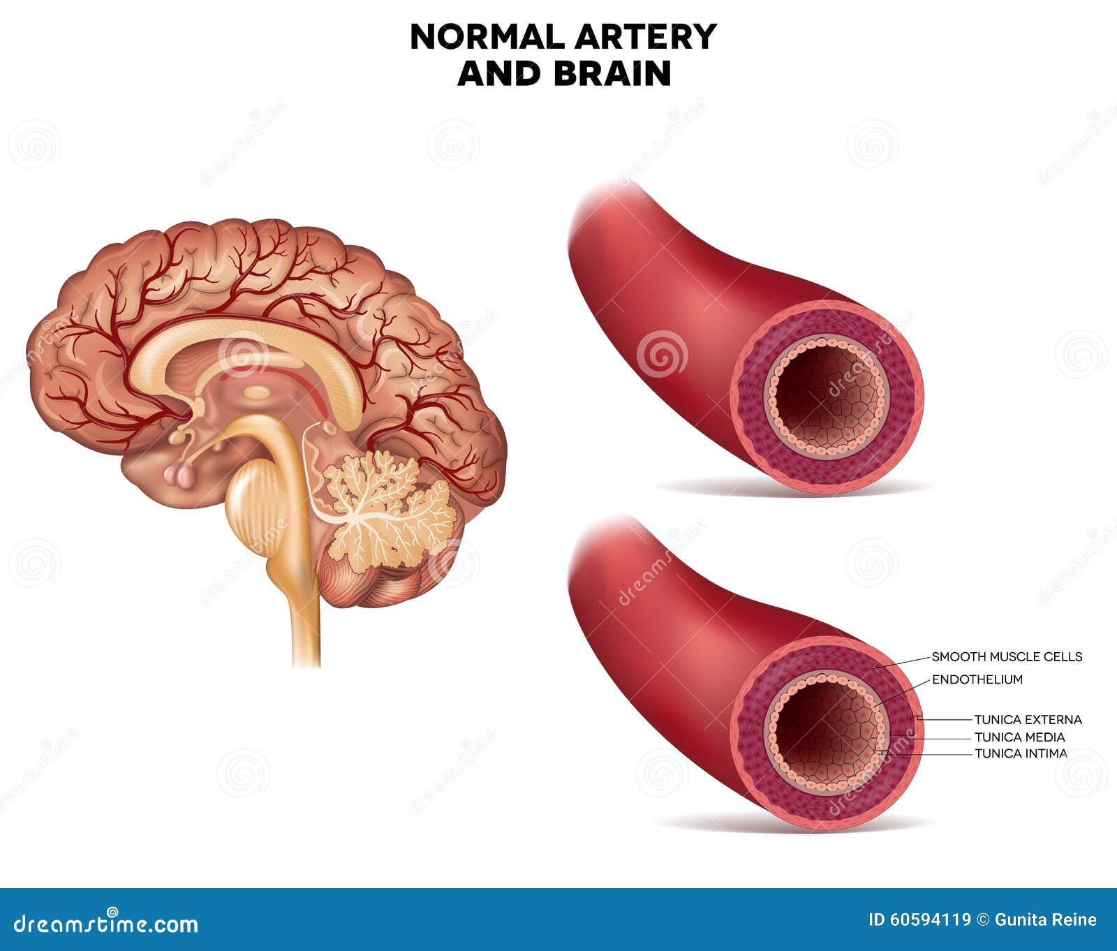 Normale Arterienstruktur Und -gehirn Vektor Abbildung - Illustration ...