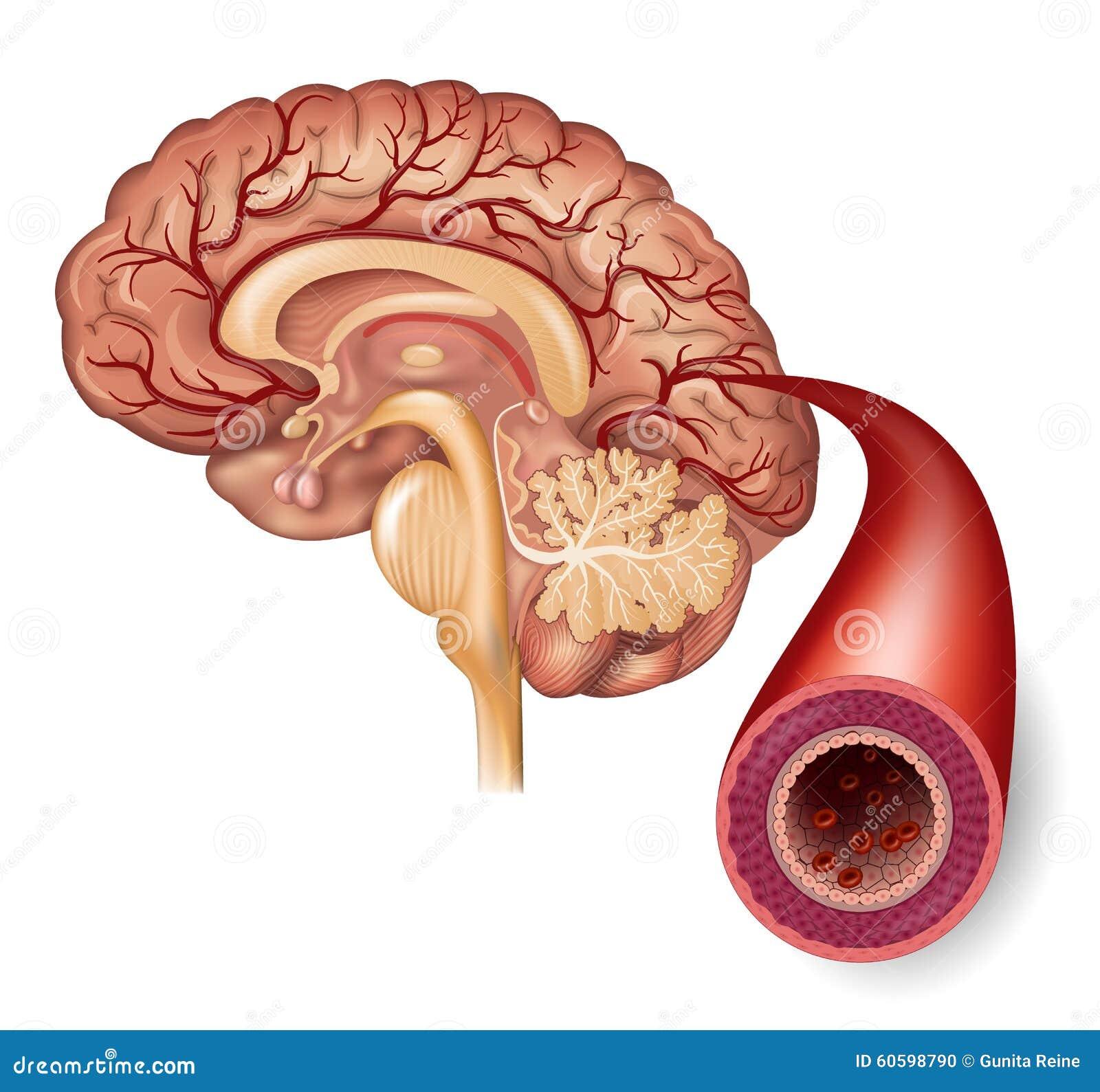 Normale hersenen en slagader
