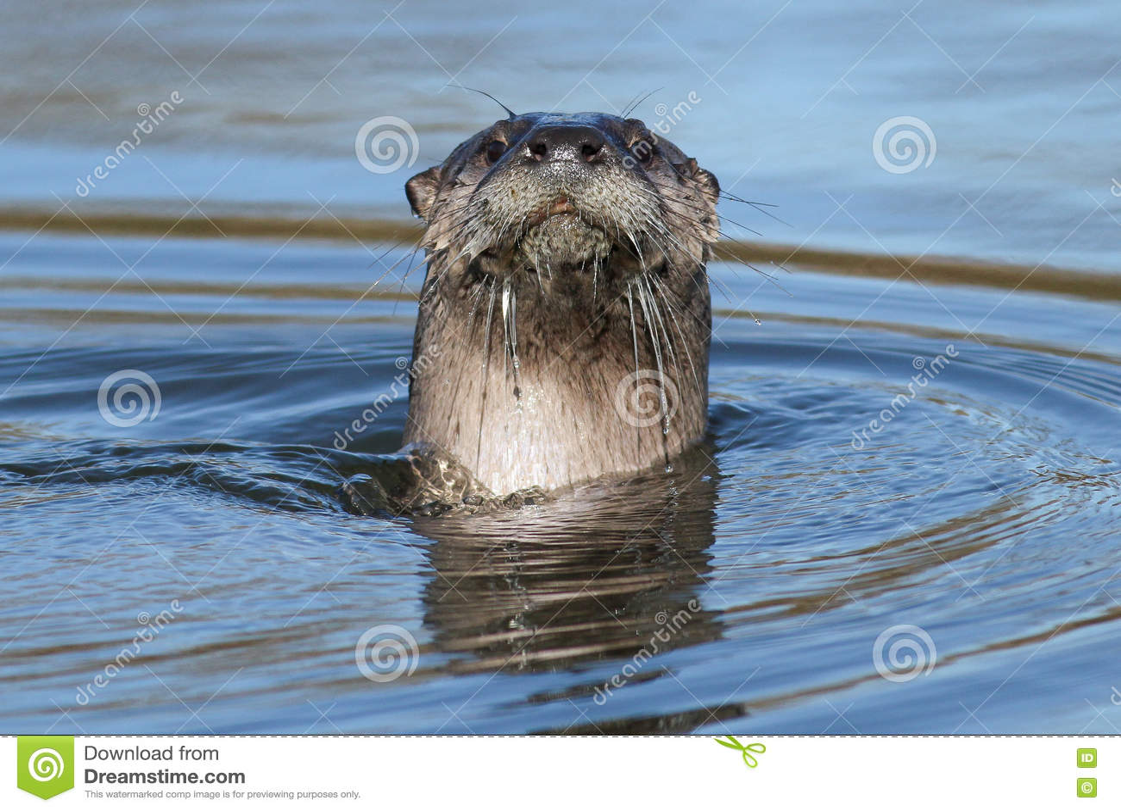Norr - Amerikansk Simning För Flodutter Fotografering för Bildbyråer - Bild  av natur, djurliv: 82303337