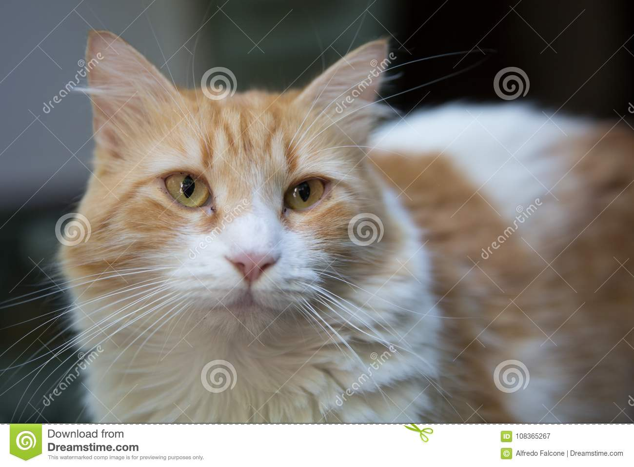 Norrman Forest Cat