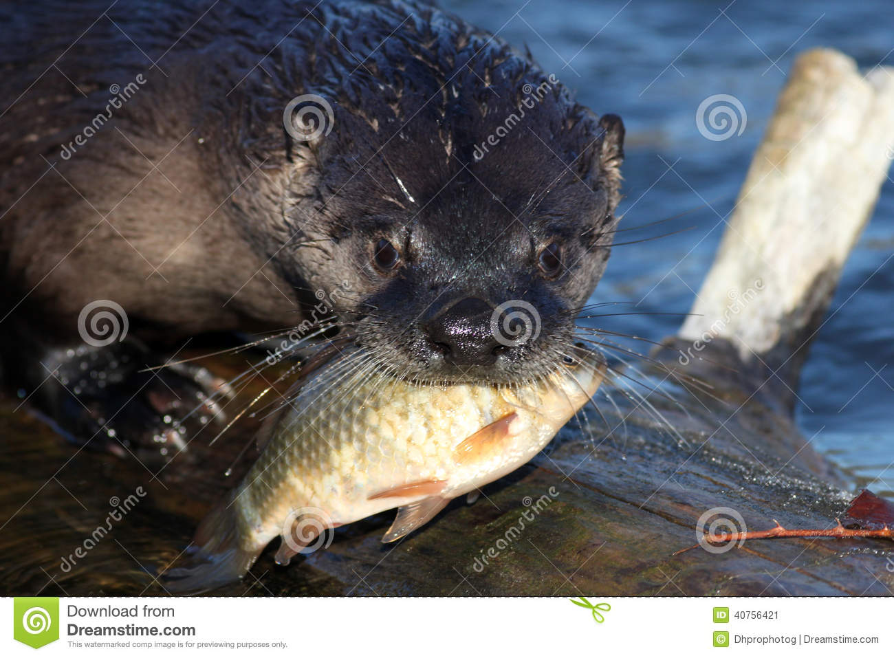 north american river otter holding a fish in his mouth beaver clip art images free beaver clipart outline