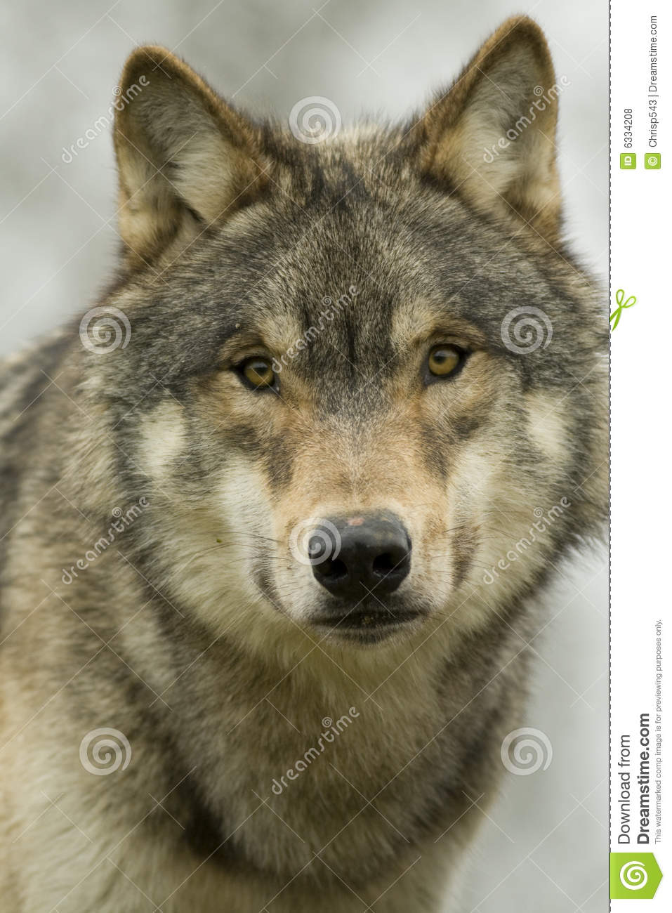 north american wolf stock photo image  muzzle nose