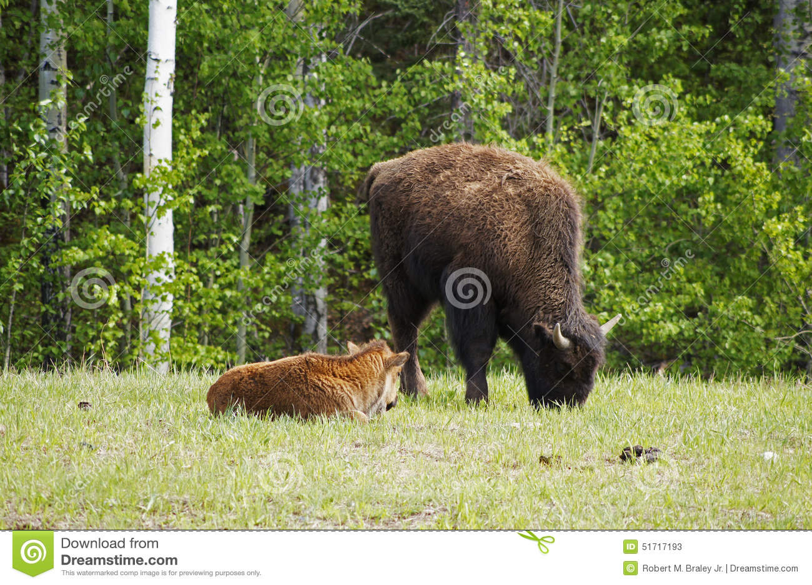 North American Wood Bison