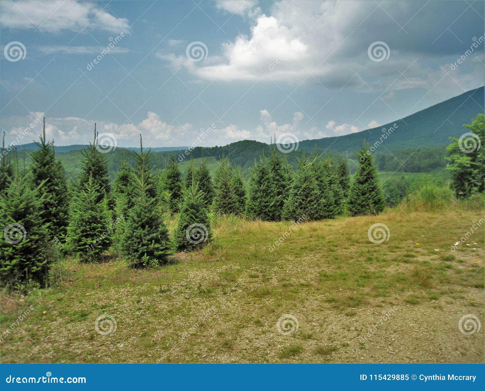 North Carolina Christmas Tree Farm Stock Image Image Of Landscape