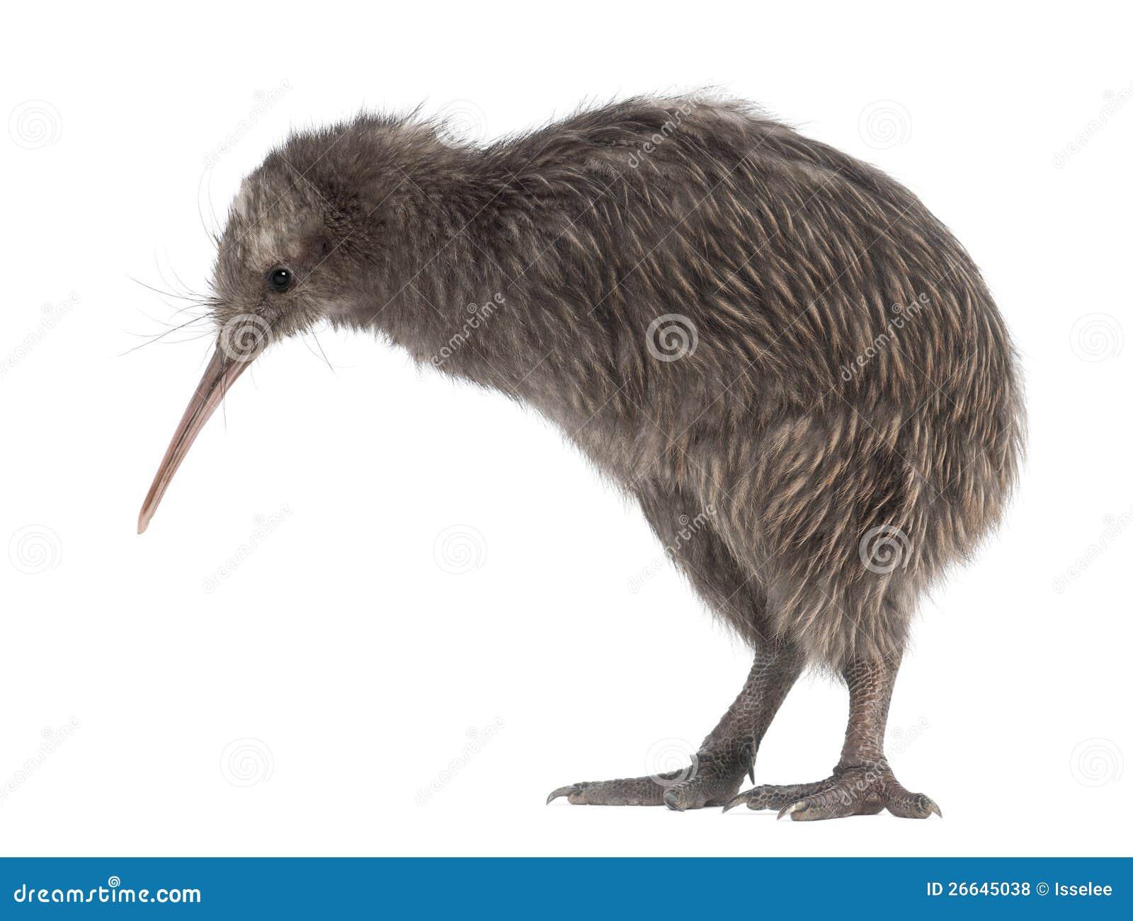 North Island Brown Kiwi, Apteryx mantelli