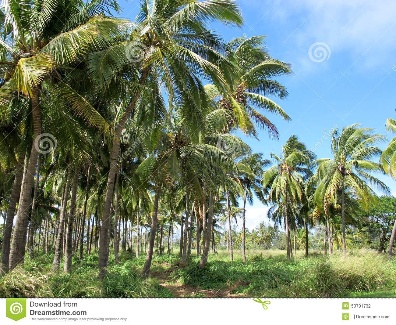 North Shore Of Oahu Palm Trees Farm Stock Photo Image Of Clear
