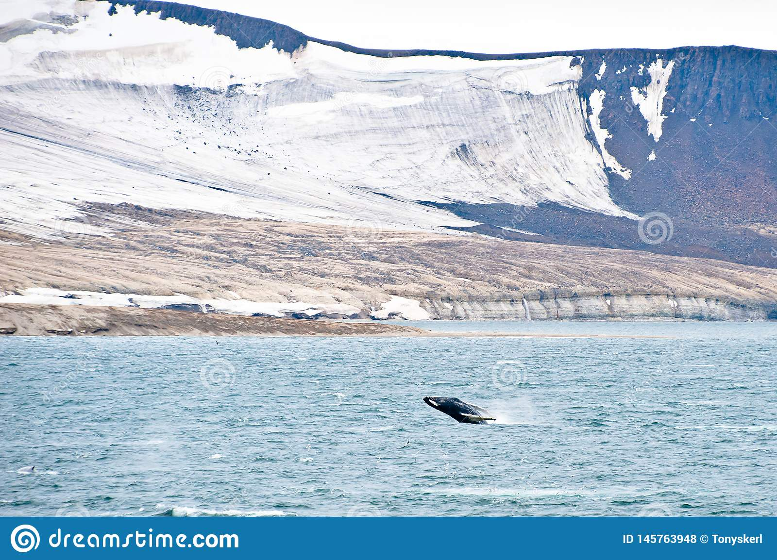 Northern Arctic landscape with breaching Humpback whale in foreground