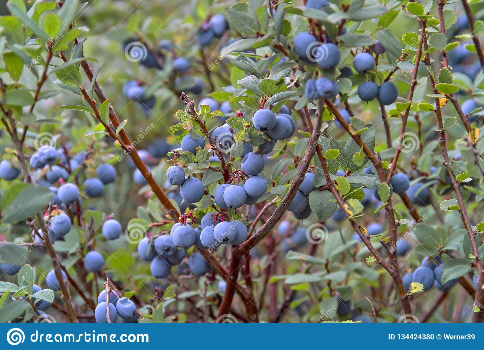 Bog Bilberry, Northern Bilberry, Vaccinium uliginosum, fruits in summer