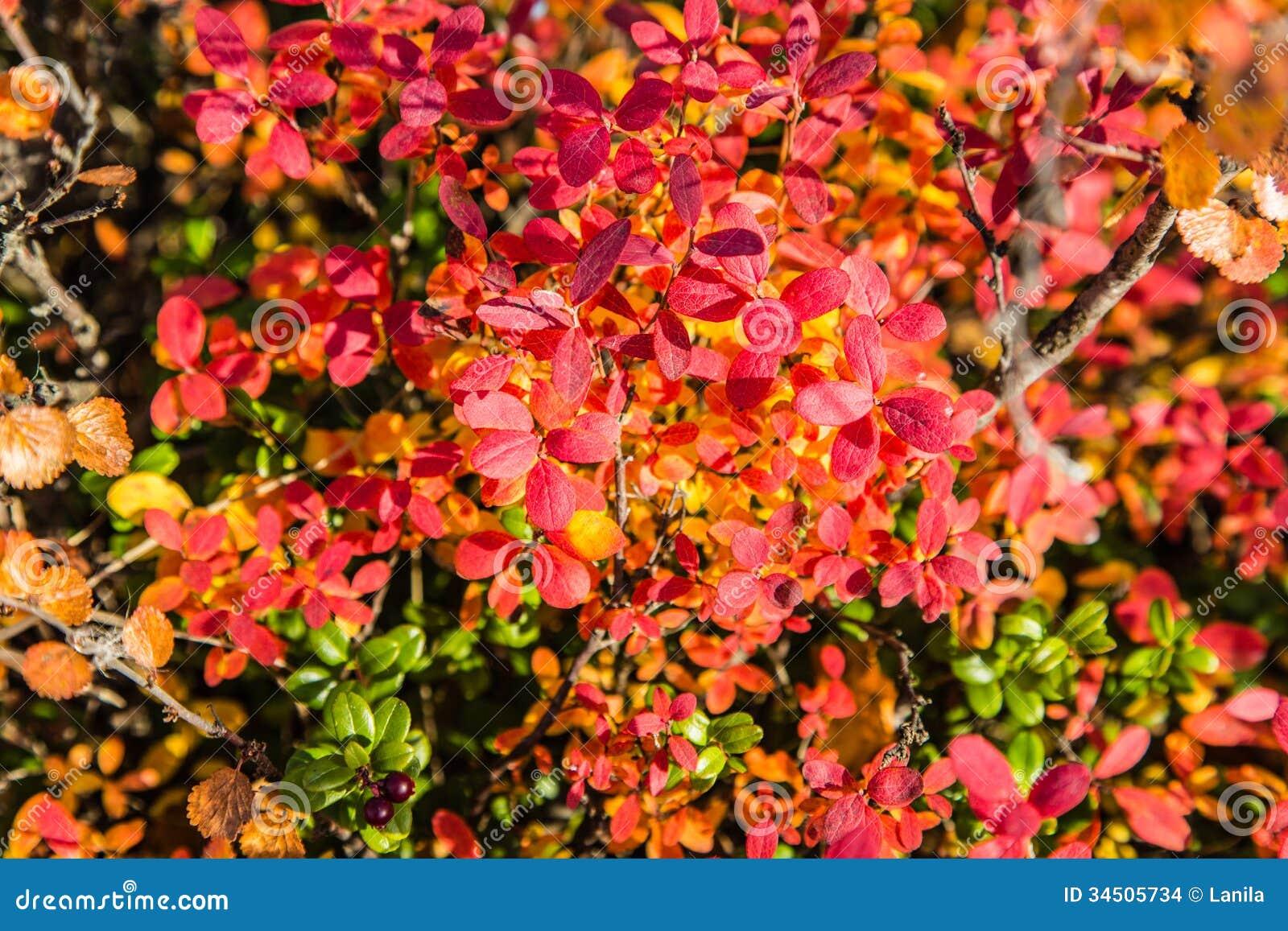 Northern Bush Berries Stock Photo Image Of October
